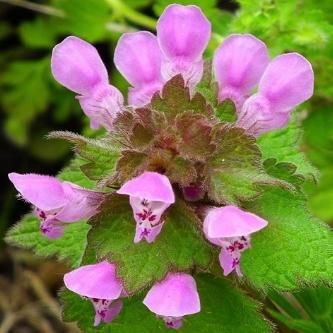 Ballıbaba Çiçeği Resmi.