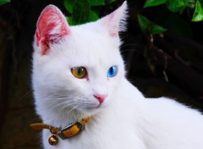En güzel van kedisi.