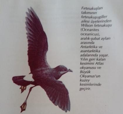 fırtına kuşları Nasıl bir kuşlardır fırtına kuşları Kuşun özellikleri nedir.