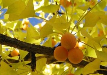 ginkgo ağacı nerede yetişiyor ginkgo bitkisinden  neler yapılıyor.