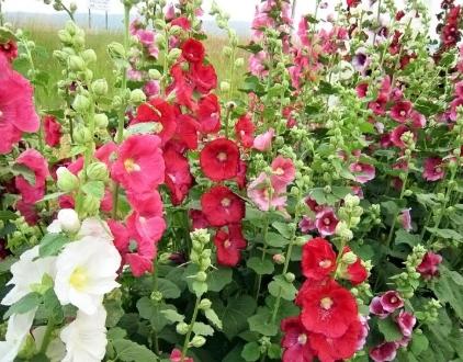 Gülhatmi Çiçeği Resimleri.