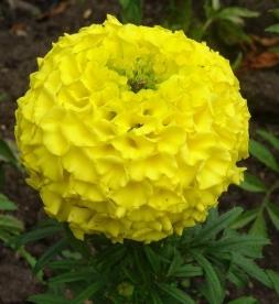 Kadife Çiçeği Resimleri.