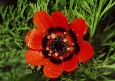 Kan Damlası Çiçeği Resimleri.