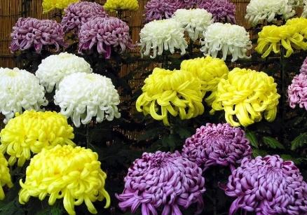 Krizantem çiçeği resmi.