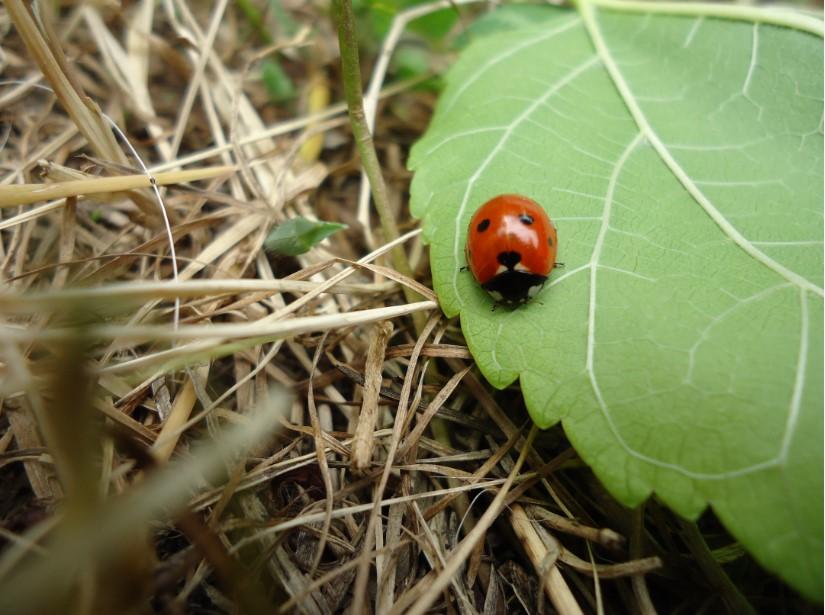 uğur-böceği-resimleri-15.