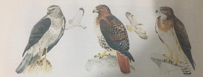 yırtıcıları giller ailesinden  Atmaca Kuş özellikleri.